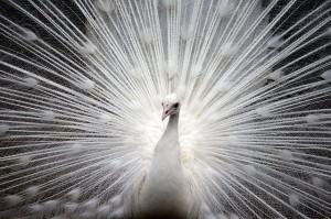 peacock-374444_640